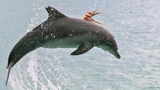 机智章鱼为避免被吃紧贴海豚背上