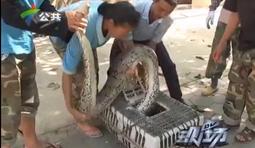 珠海惊现50斤巨蟒 吞食两头山羊