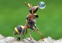 罕见大黄蜂玩吹泡泡瞬间