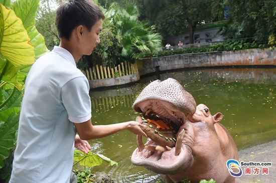 """动物园饲养员为河马准备""""超级大月饼""""朱洪波摄"""