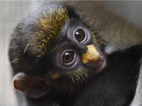 白鼻长尾猴宝宝满月 炯炯有神的双眼萌翻你