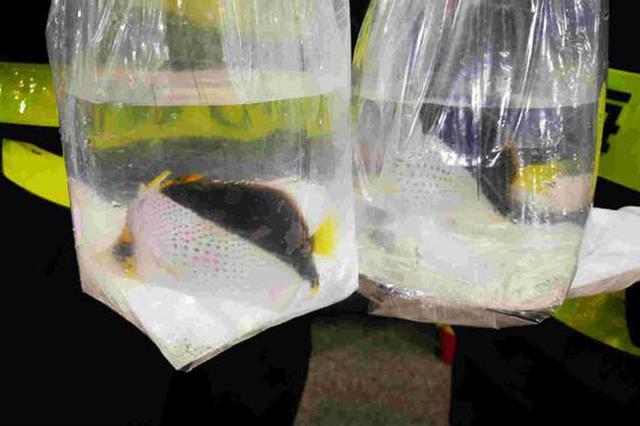 """背包装""""水族馆""""走私入境 2旅客违规携带观赏鱼入境被查"""
