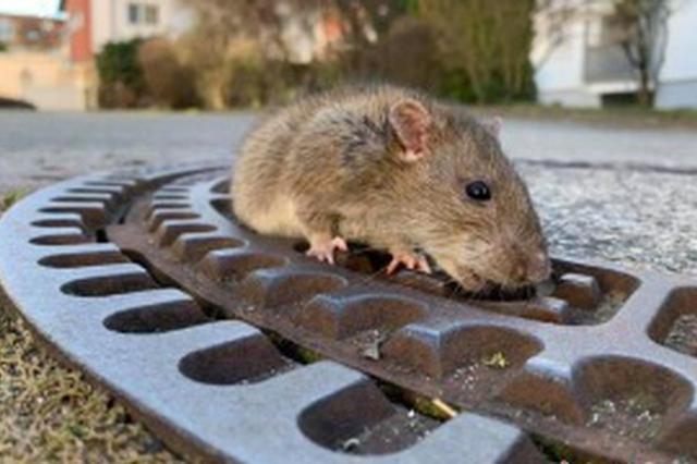 香港鼠患严重引关注 港媒:政府部门应沟通合作