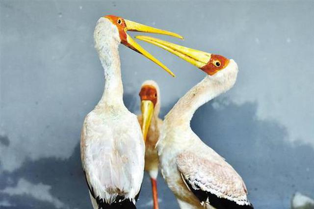 野生动物园引进6只黄嘴鹮鹳 目前处于适应期