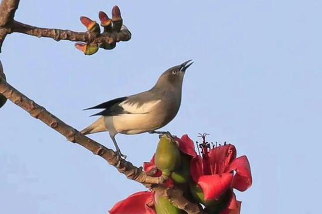 深圳木棉花成鸟界网红景点 这些野鸟纷纷来打卡