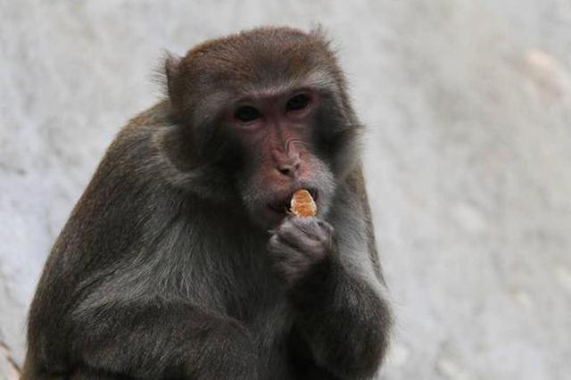 塘朗山现猕猴身影 专家:市民应与其保持安全距离