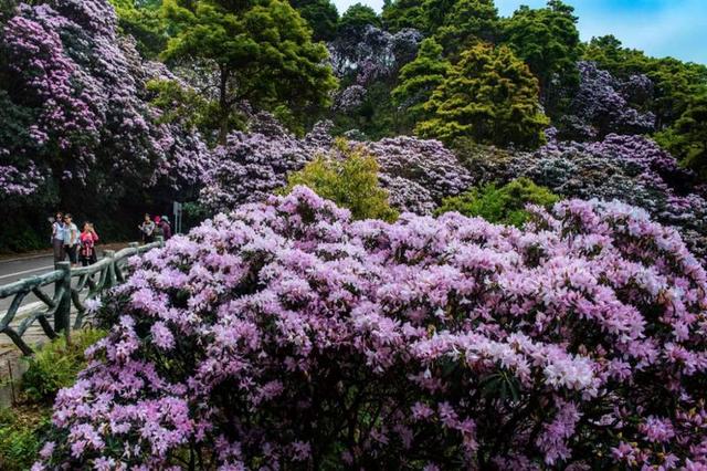 梧桐山今起举办毛棉杜鹃花会 持续至4月6日