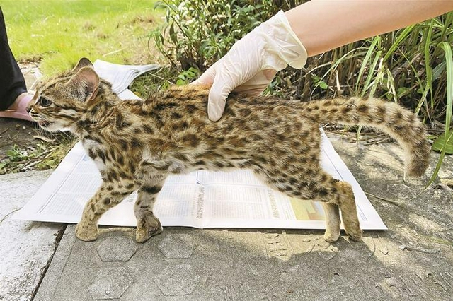 大鹏杨梅坑发现两只野生豹猫