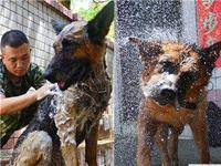 深圳警犬一天洗三次澡