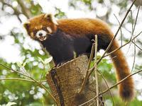 四只小熊猫安家深圳