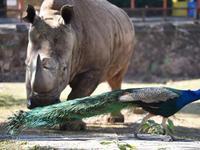 野生动物园犀牛与孔雀聚餐