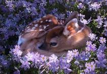 """森林""""鹿精灵"""" 梅花鹿灵动可爱"""