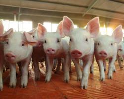 全国生猪生产整体进入转折期