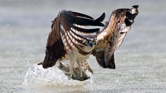 鱼鹰天空俯冲至水面捕鱼