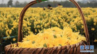 安徽:黄山连日降温 菊农抢收贡菊