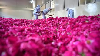 云南安宁玫瑰工厂的甜蜜事业
