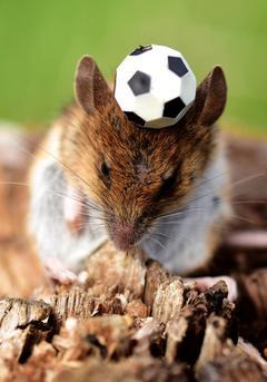 法国老鼠控球能力超强 田边苦练备战世界杯
