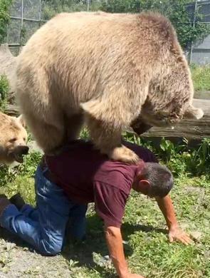 顽皮熊追饲养员要背背 体重363斤