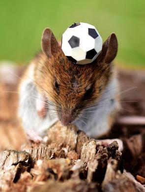 法国老鼠控球超强 苦练备战世界杯