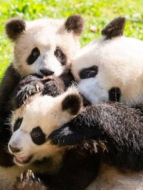 旅德大熊猫一家四口状态良好