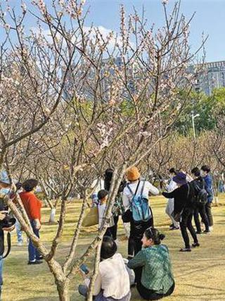 鹏城梅园花开盛