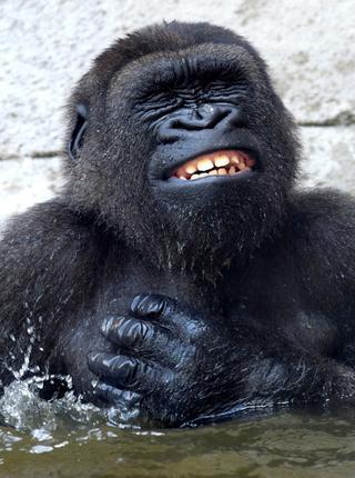大猩猩泡澡表情享受至极