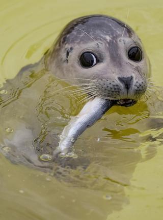 德国灰海豹宝宝吃鱼发现被拍 瞪着铜铃大眼萌爆了