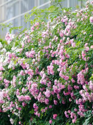 西安最美蔷薇花开惹人醉