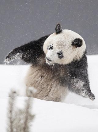 萌态百出:旅居芬兰大熊猫雪地开心玩耍