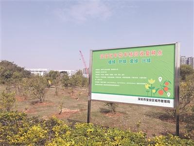 位于宝安中心区金科路与海秀路交汇处的待建地,现在已形成5000平方米的桔子林。
