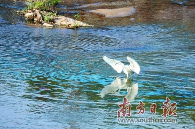 """多条河流再现""""白鹭戏水"""" 坪山将治水提质作为一号工程"""