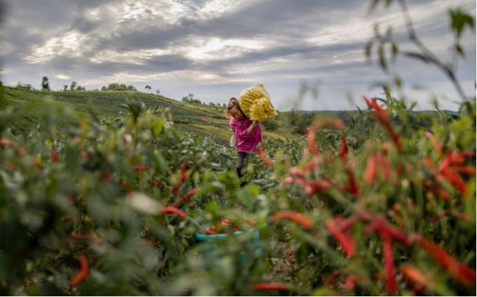 邮储银行贷款支持的朝天椒种植基地。