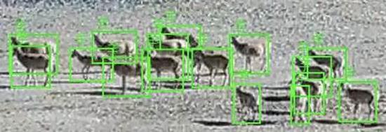 如下图,是对藏野驴的监测、识别、统计: