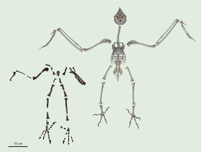 6000万年前,猫头鹰的脚爪完全不同