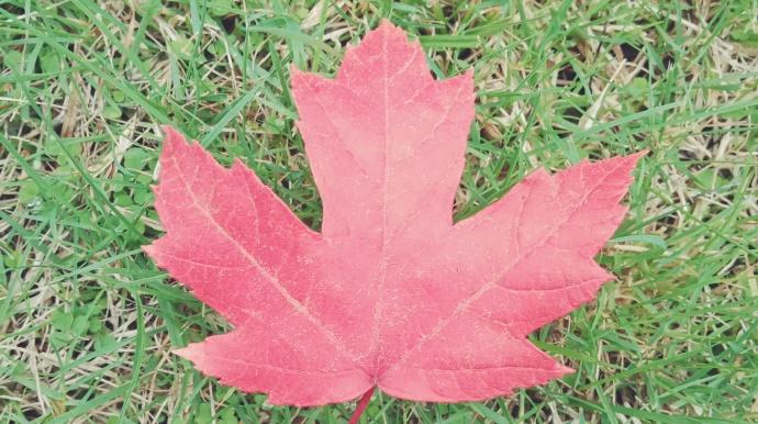 10月中旬的温哥华,枫叶又红