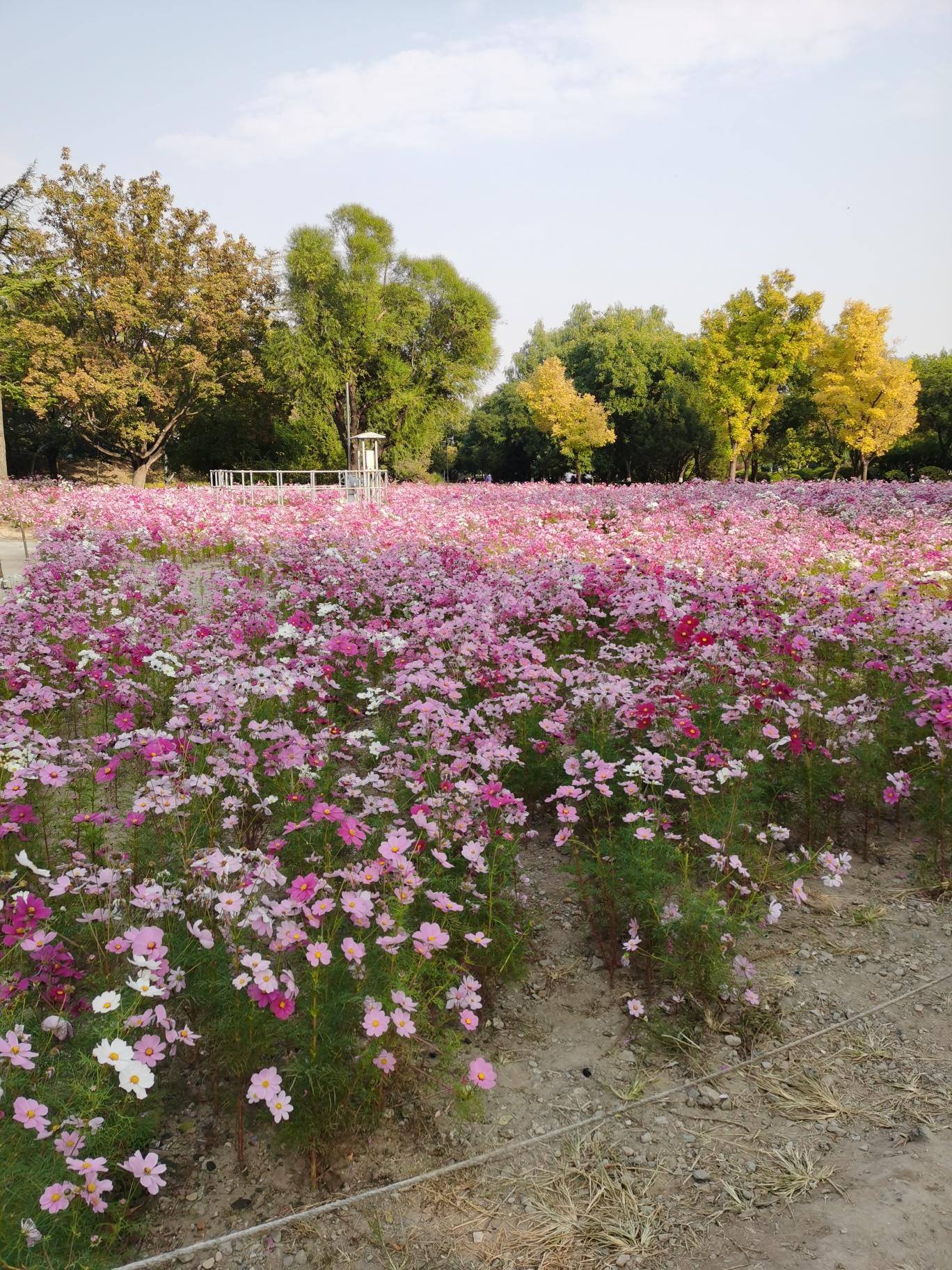 莲花池公园花海