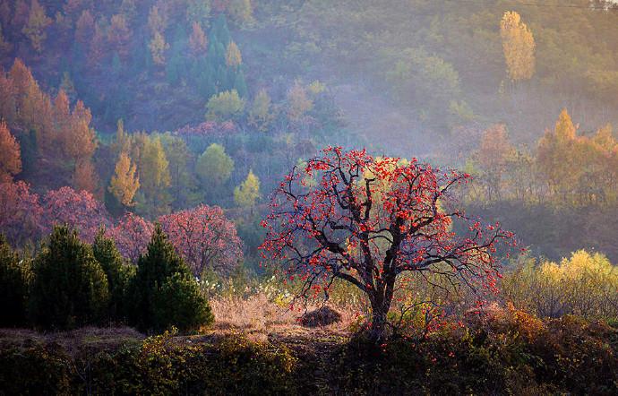 """疫后逐影(二十一)老柿树挂满""""红灯笼"""""""