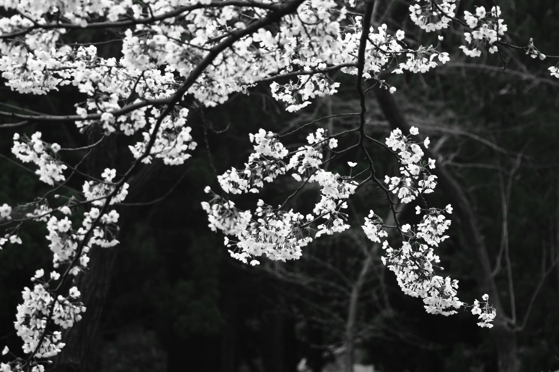 户外黑白摄影  樱花