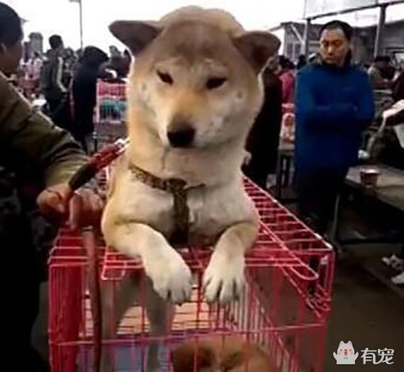狗市上秋田死死守住笼子!只为自己的孩子不被卖掉!