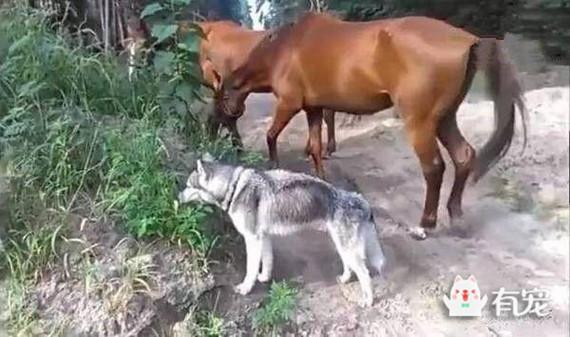 哈士奇模仿马儿吃草,它要是永远吃素就好了!