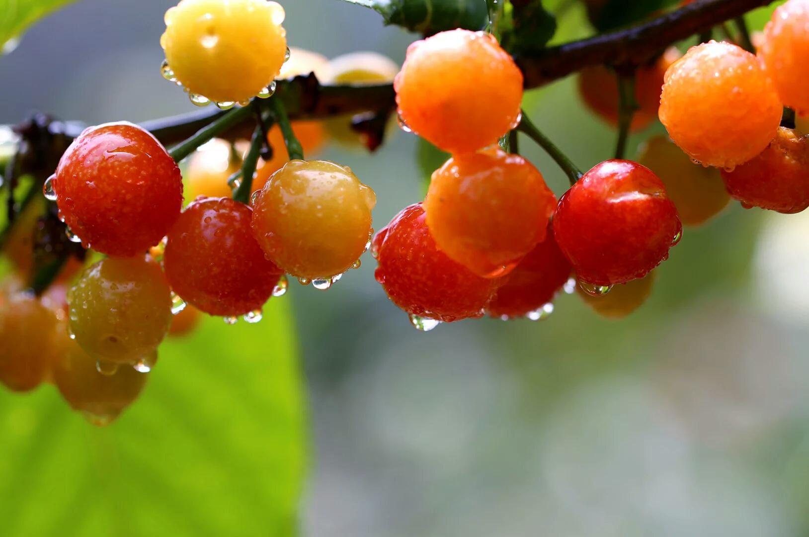 樱桃熟了 欣赏美诗 品尝美食
