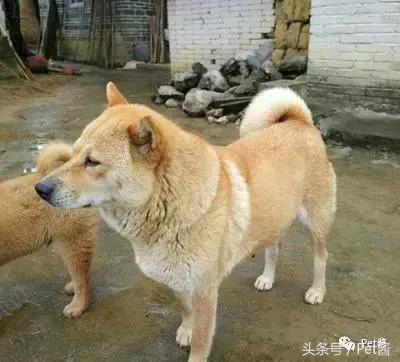 请珍惜身边的大黄狗,它们真的越来越少了