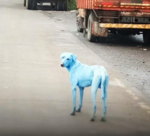印度惊现蓝色狗吓坏路人 疑因河水污染所致