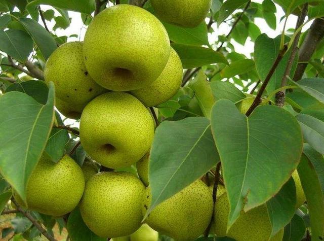 秋季吃梨好处多,教你六招养生吃法