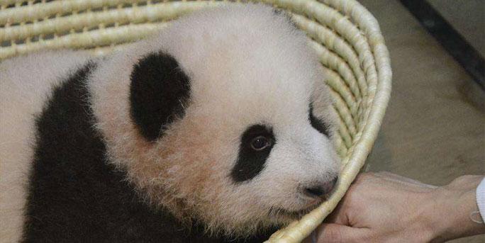 """卡哇伊!日本熊猫宝宝取名""""香香"""" 爱撒娇也爱举高高"""