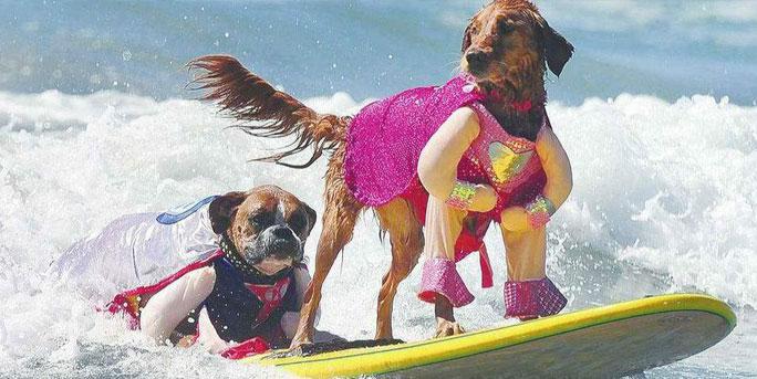 萌翻了!加州举办狗狗冲浪大赛 汪星人乘风破浪大显身手