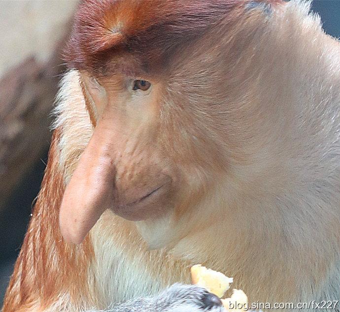 长鼻猴的鼻子真是丑,居然有文章说它是动物界成龙?