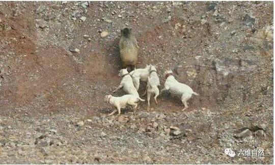杜高犬一开始培育就是为了狩猎美洲豹和美洲狮的猎犬,美洲豹和美洲狮