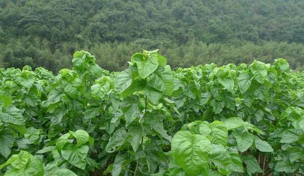 1张叶子内服外用,每天1次清血管通静脉,在农村随便摘