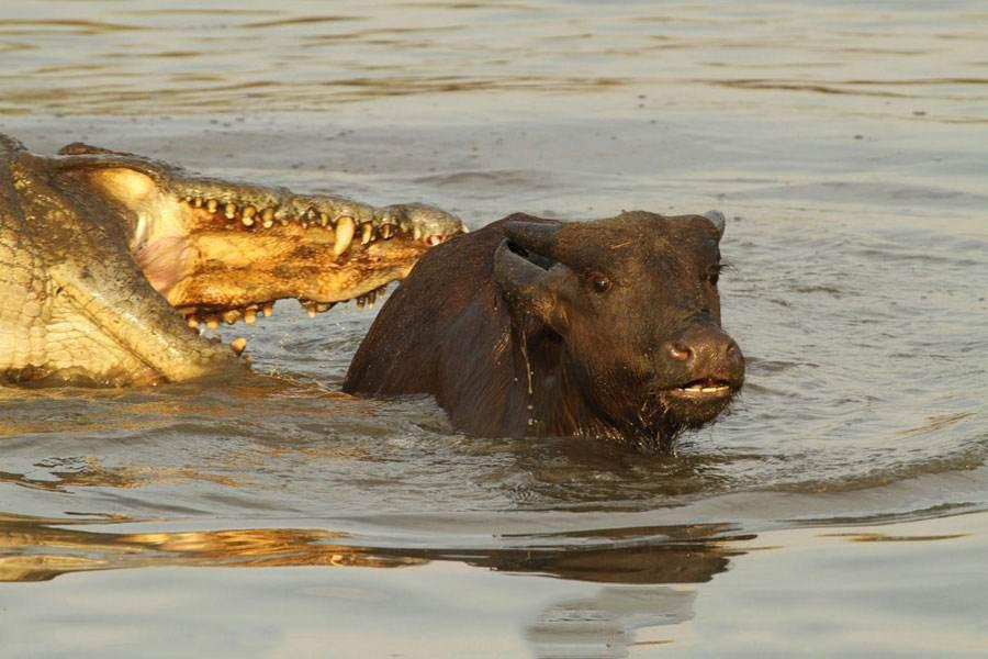 小牛被十几条饥饿鳄鱼包围 救援人员冒生命危险将其救出